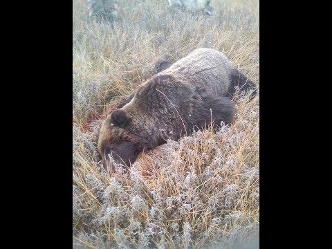 Нападения медведя , и его ликвидация . 3 трупа - Лпх Дом Велеса - жизнь за городом