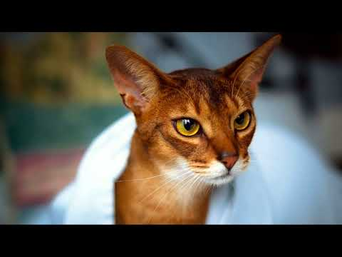 how much does an abyssinian cat cost