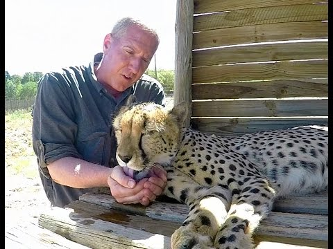 Giving Hot Cheetahs Water By Hand | Cooling Down Big Cats In Drought Stricken South Africa