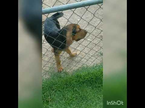 PuppyFinder.com : Otis barking