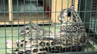 円山動物園のユキヒョウ、リーベ(メス/8歳)と、リアン(メス/2011年5月1...