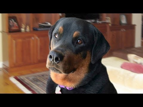 MOST DANGEROUS DOG Rottweiler Compilation
