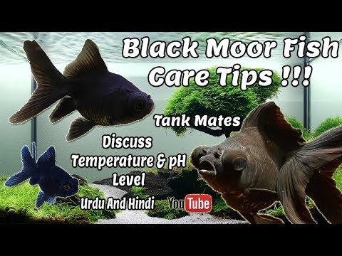 Black Moor GoldFish Care Guide | Some Common Tips !!! Urdu And Hindi