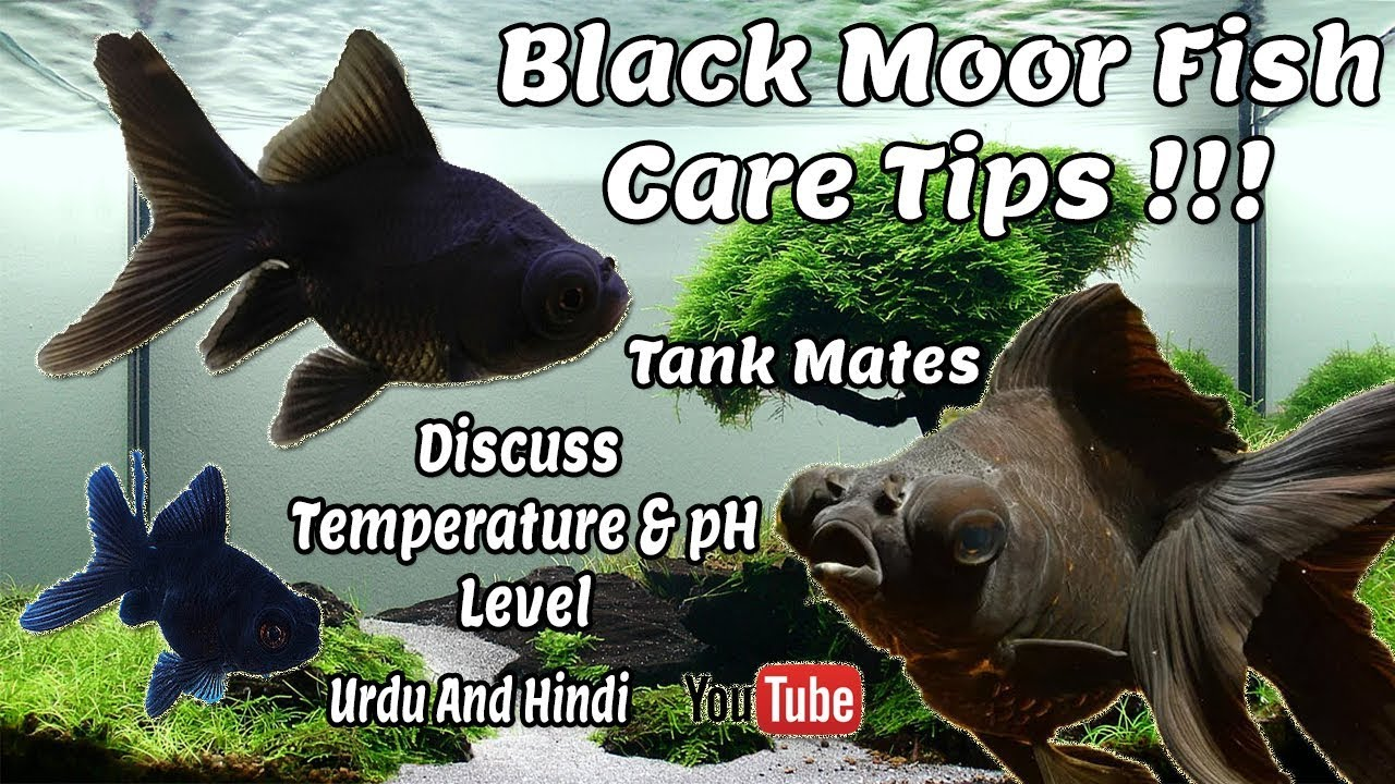 Black Moor GoldFish Care Guide   Some Common Tips !!! Urdu and Hindi