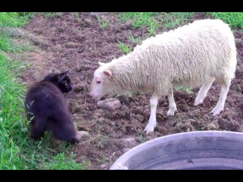Dixie the lamb chases cat, bounces off rocks