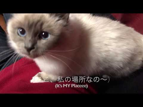 Birman, A sacred cats Sophie & Jerry ソフィ & ジェリー