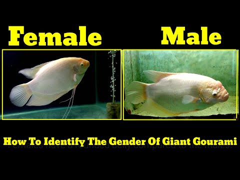 How To Identify The Gender Of Giant Gourami