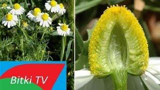 Papatya Çayının Faydaları Ve Zararları Nelerdir - Bitki TV