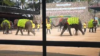 Щоу слонов ( нонг кнучь, танцы и секс)