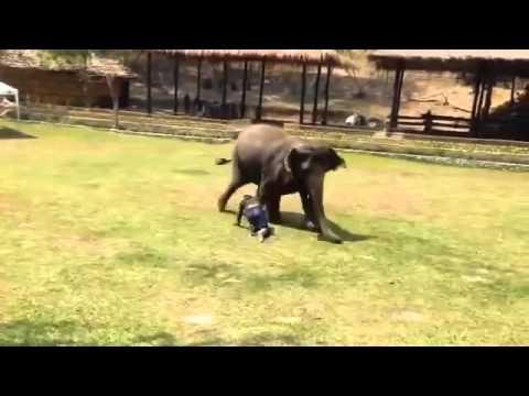 Increíble  Elefante defiende a cuidador