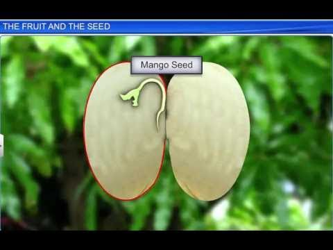 CBSE Class 11 Biology, Morphology of Flowering Plants – 6, The Fruit and the Seed