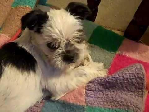 Shizu And Boston Terrier Mix Dora Youtube