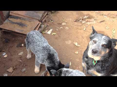Australian Cattle Dogs : HallsHeelers Puppy Update #32 - 6th July 2013