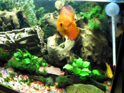 Peces discos en acuario comunitario youtube for Alimentacion para peces de acuario