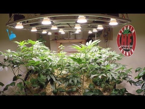 Grow Organic Medical Cannabis Indoors COB LED Cycle 2 No Till 8
