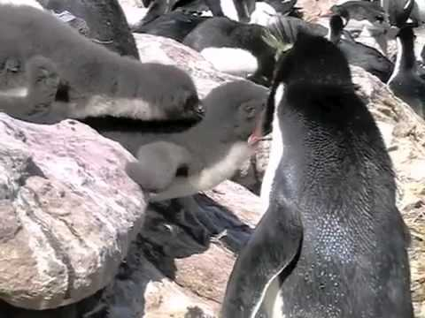 The breeding life of the rockhopper penguins, Falkland Islands.m4v