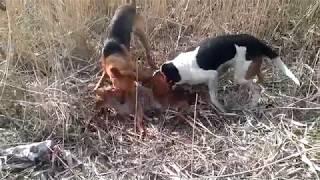 Охота с гончими на шакала 2016 Брюховецкий район