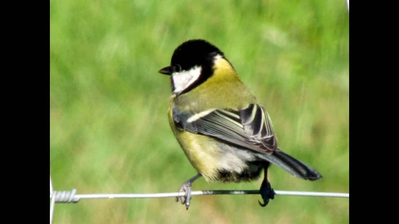 Les oiseaux rossignolets de dunkerque petits chanteurs for Les petits oiseaux