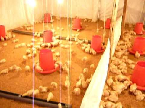 Crianza de pollos broiler. Pdf.