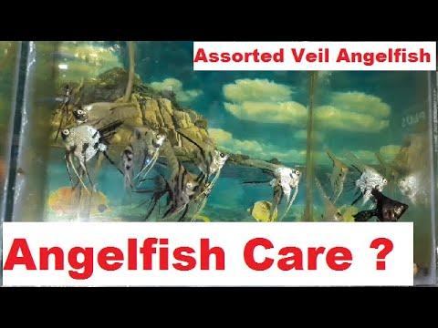 How To Care Assorted Veil Angelfish In Hindi? एंगलफिश की देखभाल कैसे करें? Angel Fish Care.