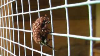 Poecilochirus – Die Schmarotzermilbe