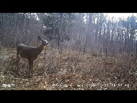 Wildlife Trail Cameras at Harvard Forest - Feb/March 2016