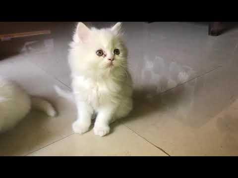 ANSHU.DOG.CARE 9716929043 Persian cat for sale at Delhi