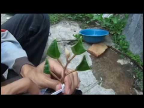 Teknik sambungan mata tunas durian