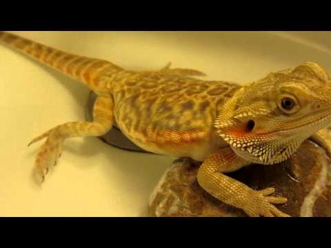 Bearded dragon fart