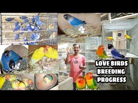 Verity Of Love Birds Breeding Progress / Different Between Violet Fisher Or Violet Mask