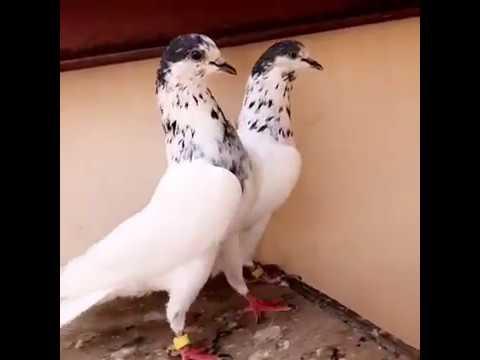35 Walay Kabootar 35 Walay Pigeon Youtube ¡encontrá todas las ofertas o vendé aquello que ya no usás! 35 walay kabootar 35 walay pigeon