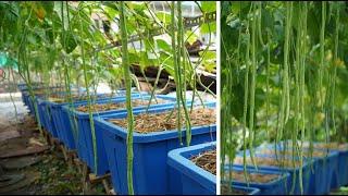 Tự trồng giàn đậu đũa trong chậu tại nhà ít sâu bệnh  Growing string beans truss in pots less pests
