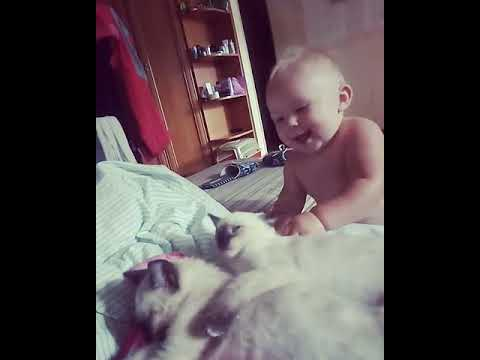 Чистокровные сиамские котята