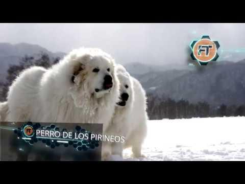 perros-guardianes-entrenados-para-obedecer-al-amo-y-muy-peligrosos