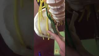 Lumbar spinal column Nervers