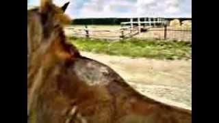 Болезни лошадей. Травматический дифузний отек.3GP. traumatic edema