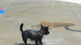 Bonny The Scotty Enjoying The Water Park. (scottish Terrier)