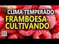 CULTIVO DE FRAMBOESA, SÃO B. SAPUCAÍ 2/4 Plantar em Casa