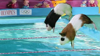 Guinea Pig Olympics  Funny Cat And American Guinea Pigs swimming ever
