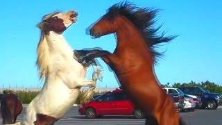 Horse Fight too wild 25/05/2014