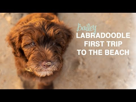 Labradoodle Puppy First Trip to the Beach | 12 week old Labradoodle Puppy