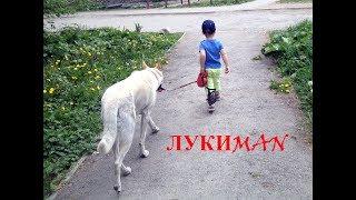 """ЛукиMAN - выгуливает БШО """"Домашние животные"""" """"Собаки видео"""" """"Собаки для детей"""""""