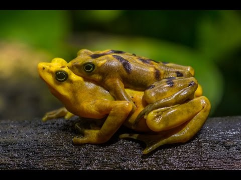 Panamanian Golden Frog on the Verge of Extinction