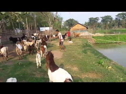 R S W goats farm house. Khulna,Bangladesh.Md Saidul Islam (Sohel).mobile -01711299700/01610299700.