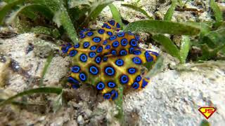 THE PHILIPPINE BLUE-RINGED OCTOPUS