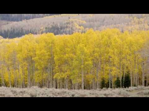 Tree Heart Attacks: Aspen Clones Dying
