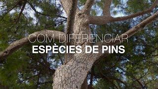 Com diferenciar espècies de pins