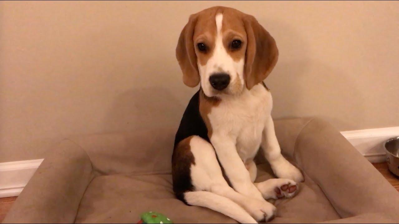 kaip numesti svorio beagle