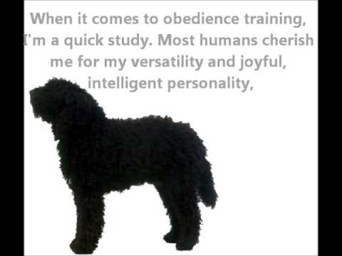 Barbet Puppies For Sale By Pets4youcom Youtube