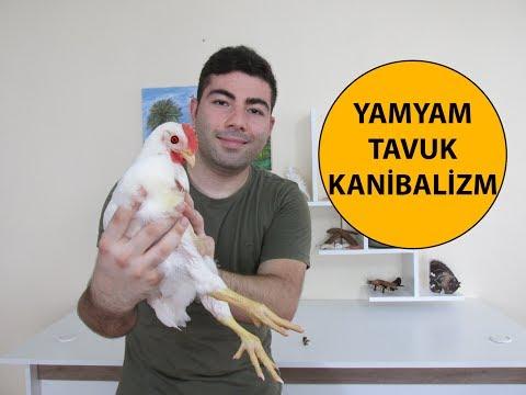Yamyam Tavuk | Kanibalizm
